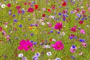 fleurs-des-champs